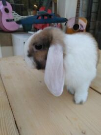 3x Female Mini Lop Rabbits 5 months old (sisters) sold as a 3