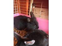 Baby boy bunnie 9weeks