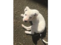 Beautiful Collie x pups for sale