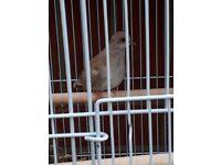 Red Mutation Diamond Dove