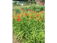 Tiger day lily lilies plants. Flowers