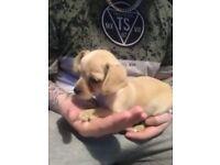 Dachound pup