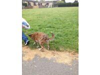 Missing dog from Allenton Derby