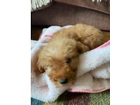 Ready Now Labradoodle F1b Red Boy 8 Week Old Pup
