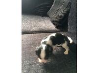 Tri colour King Spaniel. One male pup.