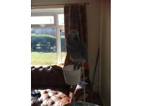 Beautiful 9 month old African grey parrot comes with cage and perch