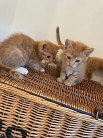 Mainecoon, Bengal, moggie mix ginger kittens