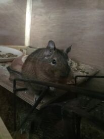 2 male degus (10 and 8 months old)