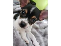 Chihuahua puppy (last of litter) £450