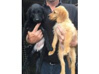 F1 Labradoodle female 1 black. Vet checked, Inoculated, wormed microchipped.