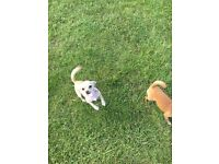 Chihuahua female 10 months old fully trained