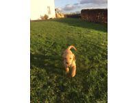 Pedigree Labrador Pups