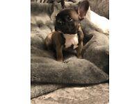 French bulldog £1400 sable beautiful pup