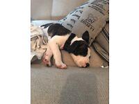 American mastiff puppie