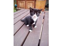 Beautiful Kitten Looking For New Home (ONLY £50)