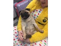 Female kc reg pug for sale she is 1 year old