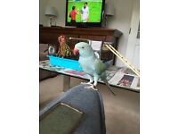 Lost Blue Parakeet!