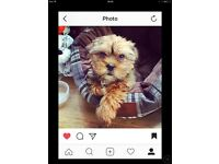 shih tzu cross Yorkshire terrier puppy