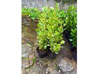 Griselinia Littoralis Variegata Hedging Plants