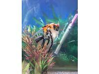 Angel fish Odessa barbs and corys