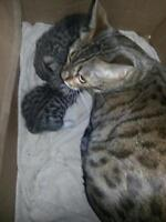 Purebred Bengal kittens plus momma cat for sale.