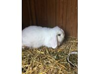 Female Mini Lops looking for New Homes