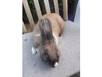 female rabbit vaccinated, flead and wormed