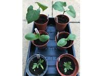 6 x vegetable plants