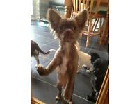 Adorable loving 4mnths old trained chihuahuas