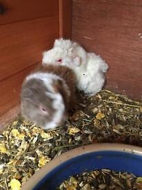 2 baby alpaca Guinea pig boys