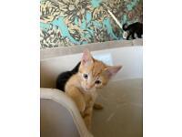 Adorable 10 weeks old kittens