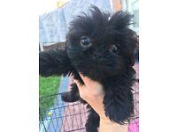 Full pedigree shih tzu puppies
