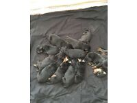 beautiful MALE chunky Rottweiler puppies for sale