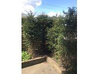 12 x 1.7m Yew Trees