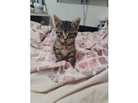 Kitten female for sale please read the add