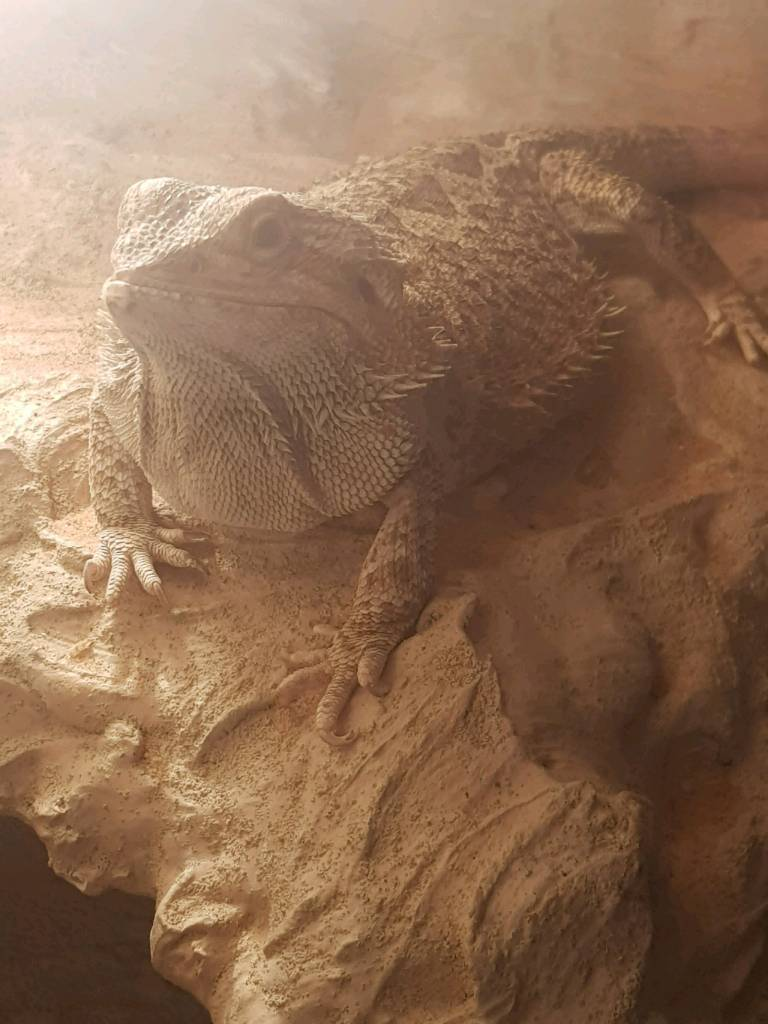 Bearded Dragon Vlog 15 Delta Eats 100 Crickets