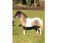 7yo Miniature Horse Stallion 31 inches tall