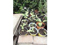 Hosta plants for borders