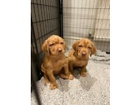 KC Registered Hungarian Wirehaired Vizslas
