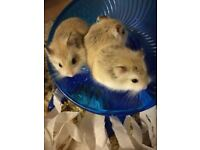 Roborovski hamsters, 4 months old, boys and girls available.