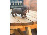 Miniature dachshund chocolate and tan puppies