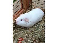 3 x Guinea Pigs looking for their forever homes