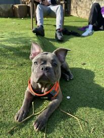 Male Frenchie Puppy For Sale