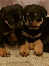 Rottweiler pups one girl left and the boy, price reduction
