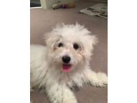 SNOW, GORGEOUS BICHON MALTES, PUPPY 4 MONTHS OLD, IS LOOKING FOR A PET-LOVER