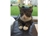 Missing one year old male tabby cat, Rothwell with a white bib, tummy and paws. Chipped and neutered