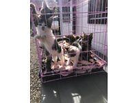 Stunning kittens Maine coon x