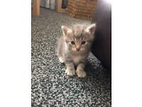 Stunning rare Silver ( grey and white ) tabby kittens
