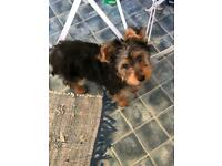 Yorkie xTerrier Puppy (NOT AVAILABLE)