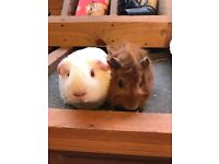 Sweet baby guinea pigs for sale